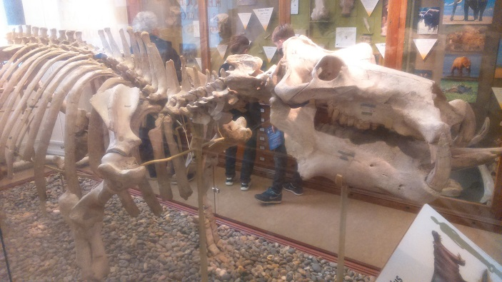A photo of a dinosaur skeleton - just one of the great things to see on a cheap day out in Cambridge
