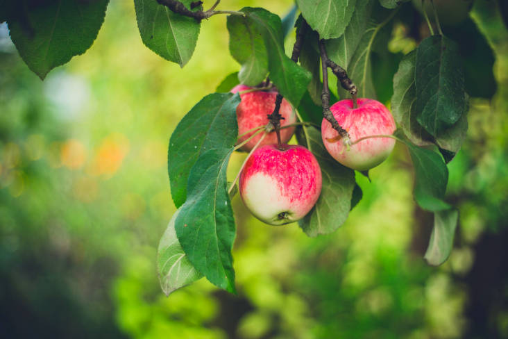 A picture of an apple on a tree in an orchard