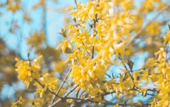 A photo (by Jonnelle Yankovich on Unsplash) of Forsythia - a great way to add colour to garden cheaply